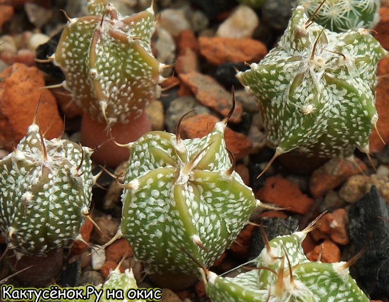 Астрофитум   hibr.  senile x asterias   'Super Kabuto' ssp. Купить кактус.
