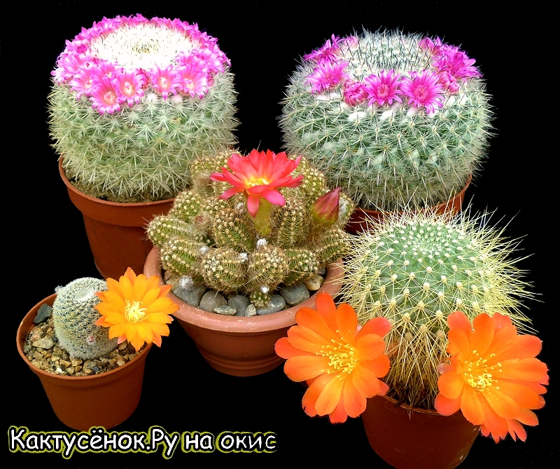Цветущие кактусы особенно прекрасны. Кактусёнок.Ру на окис. Купить кактусы.