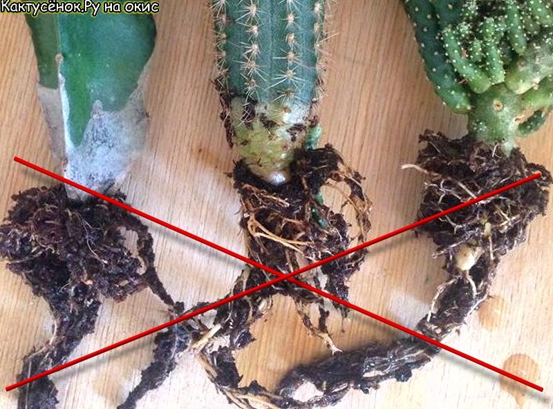 Не промытые корни кактуса, прекрасная среда для развития гнилей.